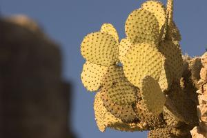 A Prickly Pear Cactus Grows in Santa Elena Canyon in Big Bend National Park, Texas by Phil Schermeister