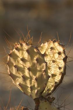 A Prickly Pear Cactus Grows Near Rio Grande Village in Big Bend National Park, Texas by Phil Schermeister