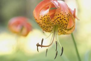 A Tiger Lily Grows Along the Rogue River by Phil Schermeister