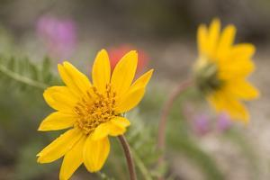 An Arrow-Leaf Balsamroot, Balsamohiza Sagittata, Flower Grows in Great Basin National Park by Phil Schermeister