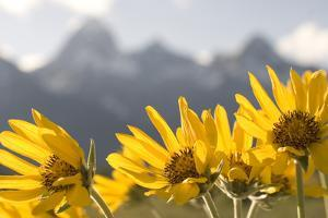 Arrowleaf Balsam Root, Balsamorhiza Sagittata, Flowers Grow in Grand Teton National Park by Phil Schermeister