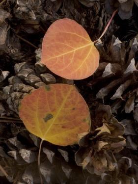 Aspen Leaves on Pine Cones in the Fall, Stanislaus National Forest Reserve, California by Phil Schermeister