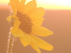 Close Up of Plains Sunflower Shot in Late Afternoon in the Grasslands by Phil Schermeister