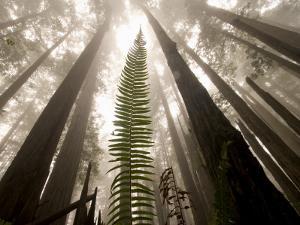 Coast Redwood Trees, Sequoia Sempervirens, in Fog by Phil Schermeister
