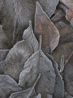 Frosty Leaves Lie on the Ground in Early Morning at Yosemite Valley by Phil Schermeister
