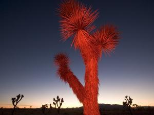Joshua Trees, Yucca Brevifolia, at Sunset by Phil Schermeister