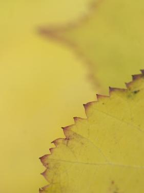 Leaves of the California Blackberry Plant Shot at High Magnification by Phil Schermeister