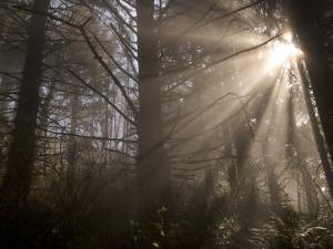 Morning Light in the Forest Mist in Redwood National Park by Phil Schermeister