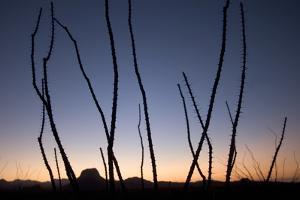 Ocotillo Plants, Fouquieria Splendens, Grow in the Chisos Basin Area of Big Bend National Park by Phil Schermeister