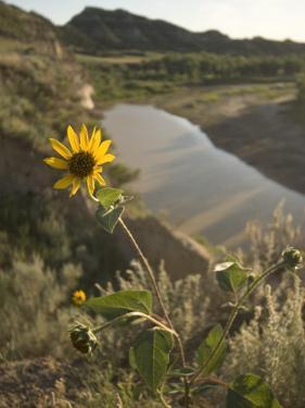 Plains Sunflower Grows Near the Little Missouri River by Phil Schermeister