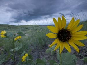 Plains Sunflowers in the Grasslands are Threatened by Stormclouds by Phil Schermeister