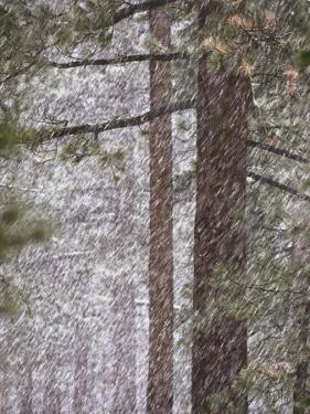 Snow Veils Conifer Trees Near Spooner Lake by Phil Schermeister