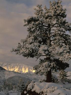Sunlight on the Sierra Nevada Mountains and a Snow Covered Tree near Bishop, California by Phil Schermeister