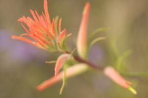The Flower of a Paintbrush Plant in Mesa Verde National Park by Phil Schermeister