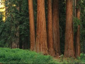 Trunks of Giant Sequoia Trees in the Mariposa Grove by Phil Schermeister