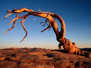 Twilight View of a Jeffrey Pine Tree (Pinus Jeffreyi) by Phil Schermeister
