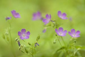 Wild Geranium, Geranium Maculatum, Flowers Grow Near the Oconaluftee River by Phil Schermeister
