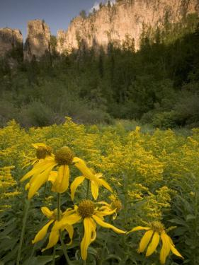 Yellow Wildflowers Growing in Spearfish Canyon, South Dakota by Phil Schermeister