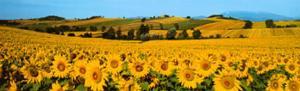 Sunflowers Field - Umbria by Philip Enticknap