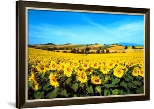 Sunflowers Field, Umbria by Philip Enticknap