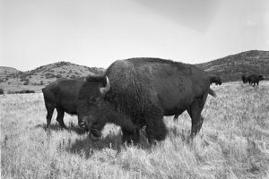 Bison in Wildlife Refuge by Philip Gendreau