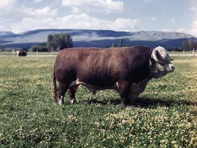 Bull Standing in Field