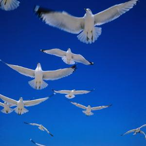 Gulls in Flight by Philip Gendreau