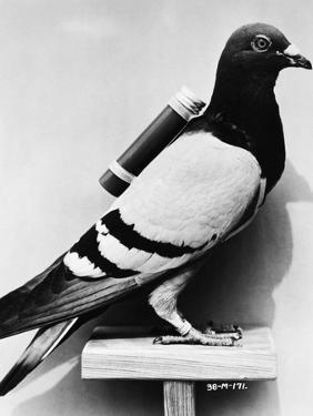 U.S. Army Carrier Pigeon by Philip Gendreau