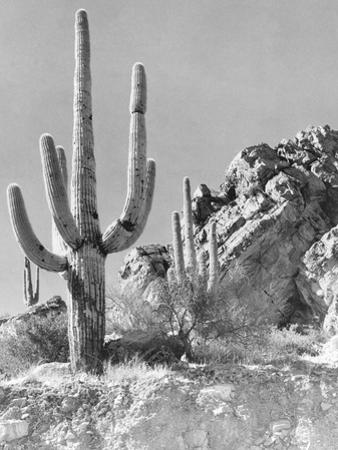 View of a Saguaro Cactus in Desert Site by Philip Gendreau