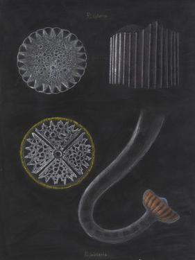E Miliaris and E Sphaera: Sea Urchin by Philip Henry Gosse