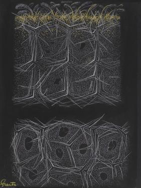 Grantia Sponge by Philip Henry Gosse