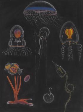 Jellyfish by Philip Henry Gosse