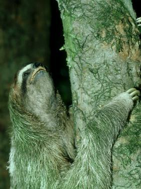 3-Toed Sloth, Bci, Panama by Philip J. Devries