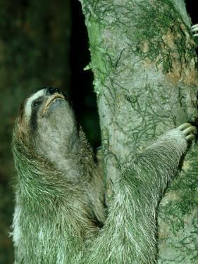 3-Toed Sloth, Bci, Panama by Philip J. Devries