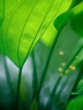 Detail of Tropical Foliage, Thailand