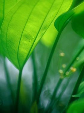Detail of Tropical Foliage, Thailand by Philip & Karen Smith