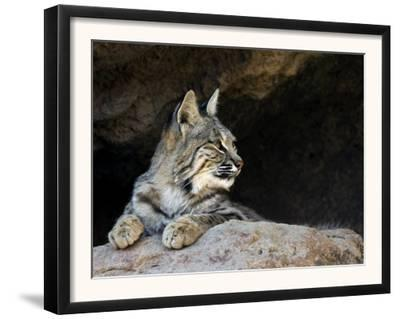 American Bobcat Portrait Resting in Cave. Arizona, USA