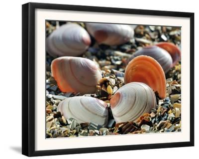 Baltic Tellin Shells on Beach, Belgium by Philippe Clement