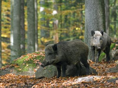 Captive Wild Boars in Autumn Beech Forest, Germany