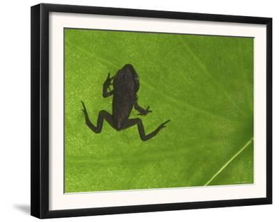 Common Frog Juvenile, Viewed Through Leaf, Belgium