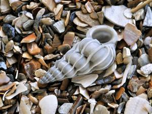 Common Wentletrap Shell on Beach, Belgium by Philippe Clement