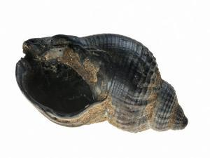 Common Whelk from the North Sea, Shell Showing Aperture, Belgium by Philippe Clement