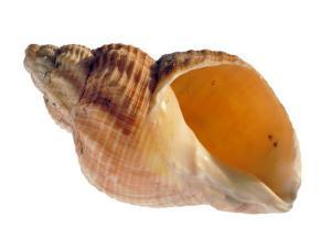 Common Whelk Shell Showing Aperture, Normandy, France by Philippe Clement