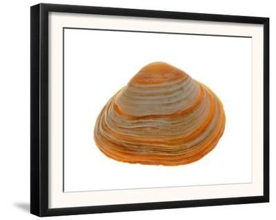 Cut Trough Shell, Belgium