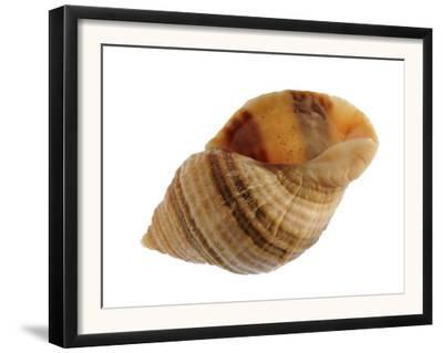 Dog Whelk Atlantic Dogwinkle Shell, Normandy, France by Philippe Clement