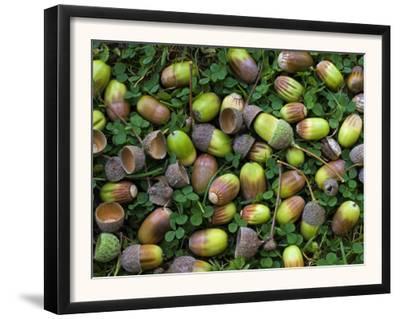 English Oak Tree Acorns on Forest Floor, Belgium