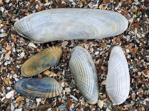 Five Pholadidae, Common Piddock, American Piddock and White Piddock Shells, Normandy, France by Philippe Clement