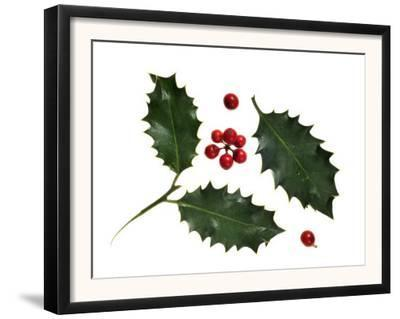 Holly Leaves and Berries, Belgium by Philippe Clement