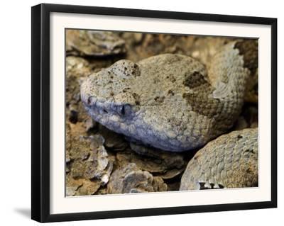 Mottled Rock Rattlesnake Close-Up of Head. Arizona, USA
