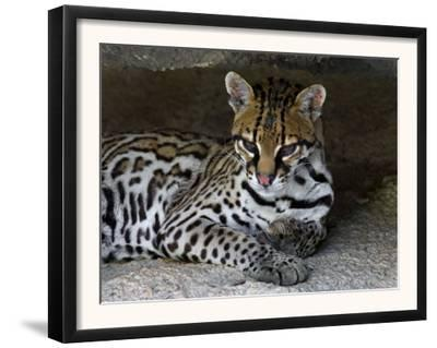 Ocelot Portrait, Resting in the Shade of a Cave. Arizona, USA by Philippe Clement